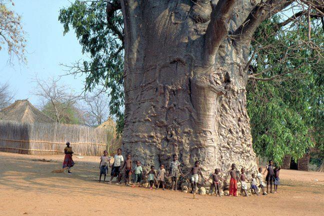 Världens största träd